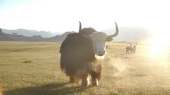 Yak. Cattle grazing in the steppe - stock footage