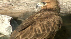Hawk - stock footage