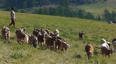 Horses on pasture Stock Footage