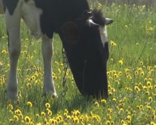 Cow vomit flowers Stock Footage