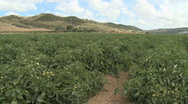 Stock Video Footage of Tomato field agriculture