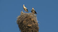 Stork family in the nest Stock Footage