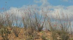 Arizona Ocotillo Hillsides Stock Footage