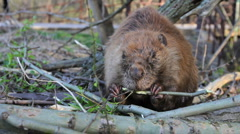 Beaver Eating Branch - stock footage