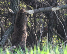 Beaver Eating Montage - stock footage