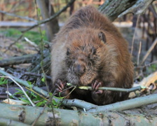 Beaver Eating Branch Stock Footage