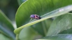 Ladybug, pupa, larvae Stock Footage