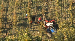 Italy Chianti workers harvesting grapes Stock Footage