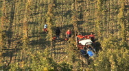 Stock Video Footage of Italy Chianti workers harvesting grapes