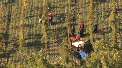 Chianti grape harvest  Stock Footage