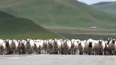 Herd of sheep walking on road in Tibetan landscape Stock Footage