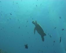 sea turtle diving underwater video - stock footage