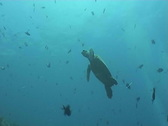 Sea turtle diving underwater video Stock Footage