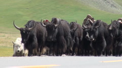Herd of yaks on Chinese road Stock Footage