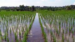 Rice Patty Stock Footage