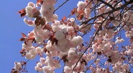 Cherry blossoms in the windy weather. Stock Footage