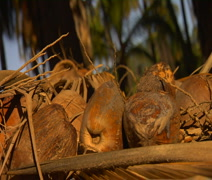 Stock Video Footage of Hawaii, Molokai CU bunch of brown coconuts