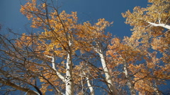 Aspens Autumn 141 29.97 Stock Footage