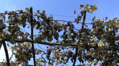 Italy Piedmont grapes on trellis zooms in Stock Footage