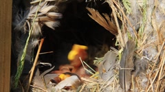 Stock Video Footage of Sparrow Chicks in the Nest