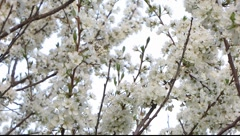 Spring blossoms in a strong breeze Stock Footage