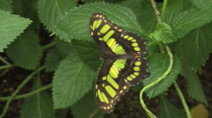 Malachite Butterfly Stock Footage