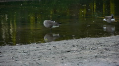 Canadian geese cleaning themselves in the river #2 Stock Footage