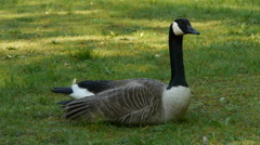 Canadian goose close up sitting in the grass Stock Footage