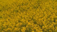 oilseed rape - stock footage