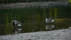 Canadian geese cleaning themselves in the river Stock Footage