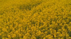 Oilseed rape Stock Footage