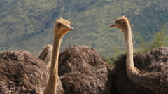 Ostrich x3 Close Up Shot, South Africa GFHD Stock Footage