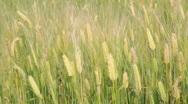Mature Rice Crop Stock Footage