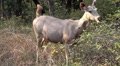 indian female antelope1 HD Footage
