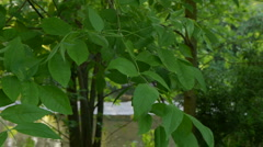 Leaves in a calm breeze - stock footage
