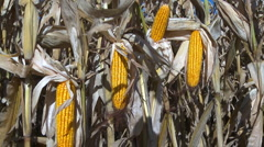Corn on stalks awaits harvest Stock Footage