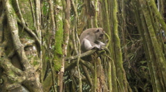 Monkey Sits on a Branch in the Jungle Stock Footage