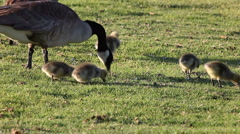 Canada geese and goslings - stock footage