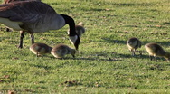 Stock Video Footage of Canada geese and goslings