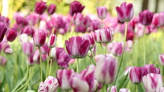 Pink tulip flower Stock Footage