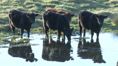 Cattle at watering hole Stock Footage