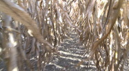 Stock Video Footage of walking through rows of corn