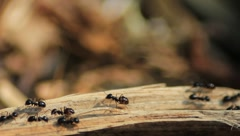 Closeup of big black ants on a stick of wood Stock Footage