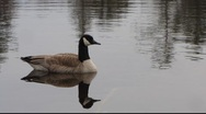 Stock Video Footage of Canada Goose on Silent Lake 2