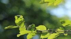 Leaves of Hezel 01 - stock footage