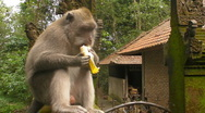 Stock Video Footage of A Monkey eats a Banana