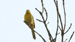 Female Oreole Bird On Branch Stock Footage