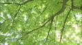 chestnut in bloom HD Footage