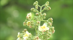 Chestnut in bloom Stock Footage