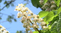chestnut in bloom Footage